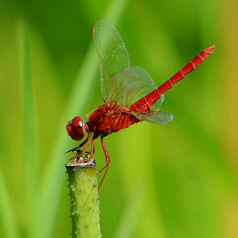 孤独的红蜻蜓