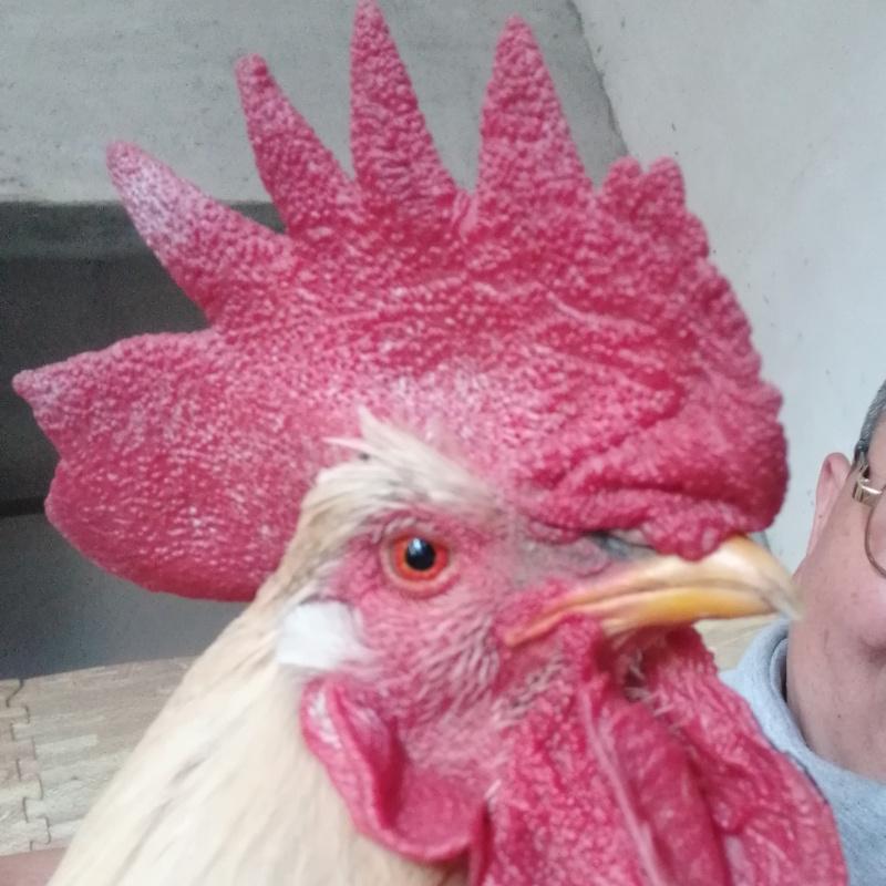 炸毛的公鸡