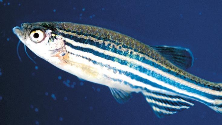 斑马鱼高中生物