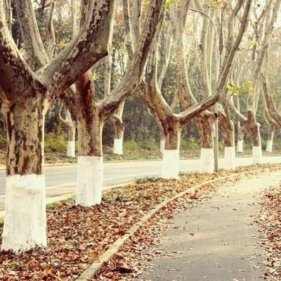 梧桐树下·文