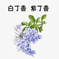 白丁香  紫丁香
