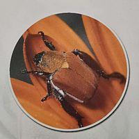 法布尔昆虫记之花金龟