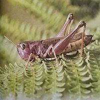 法布尔昆虫记之蝗虫